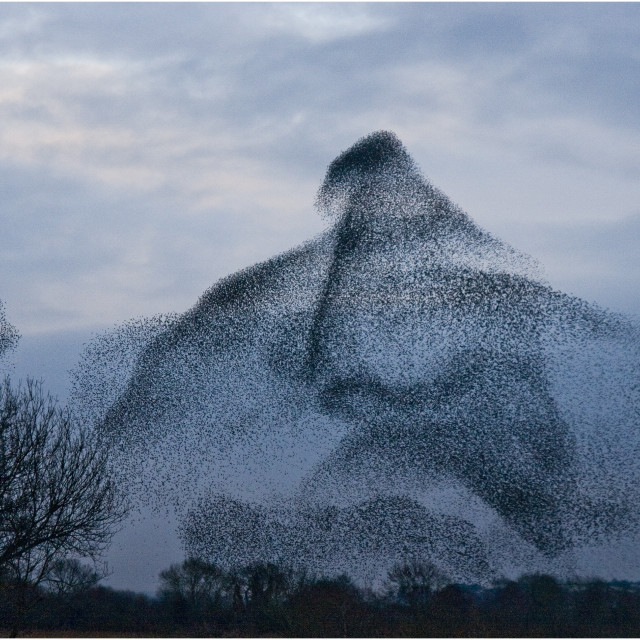 """Starling Murmuration"" stock image"