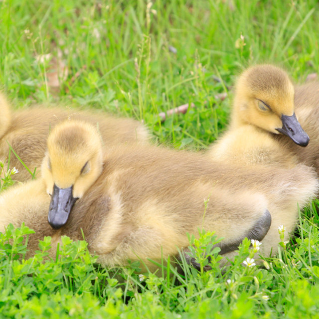 """Canada Goslings"" stock image"