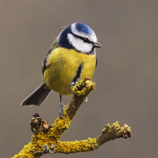 """Blue tit on the end of the branch."" stock image"