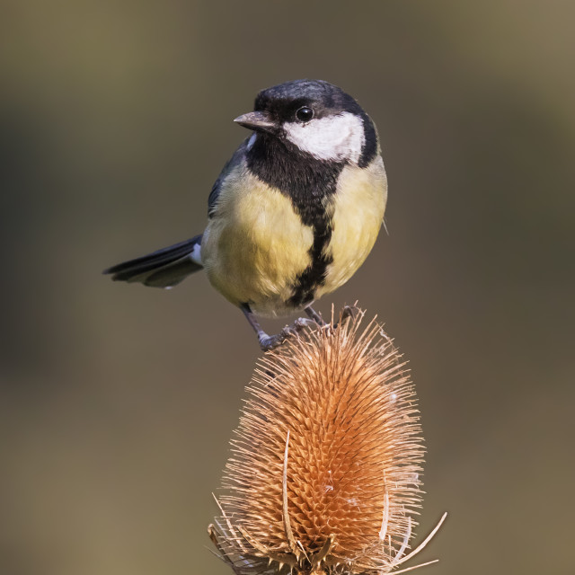 """Great tit on teasel"" stock image"