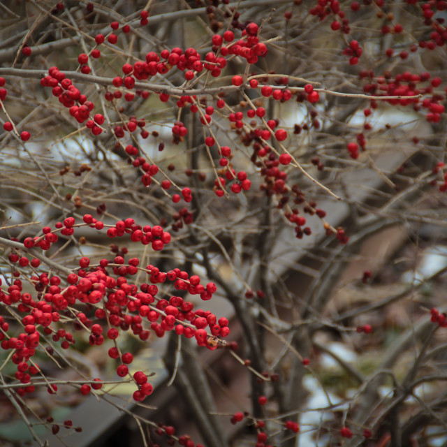 """Red berries on the Highline, NYC"" stock image"