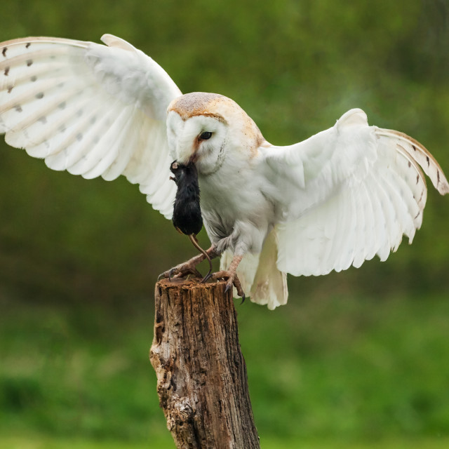 """Barn owl landing with lunch"" stock image"