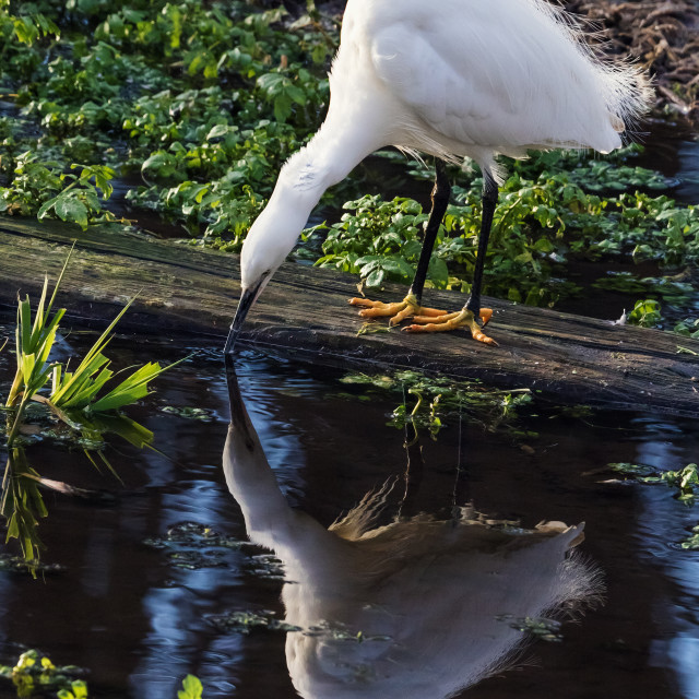 """Little Egret and its reflection."" stock image"