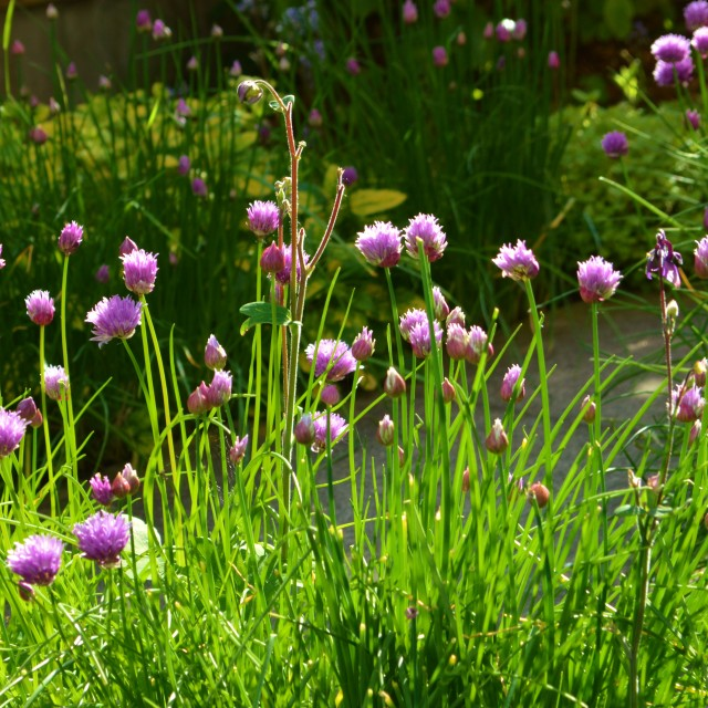 """Chives (Allium schoenoprasum)."" stock image"