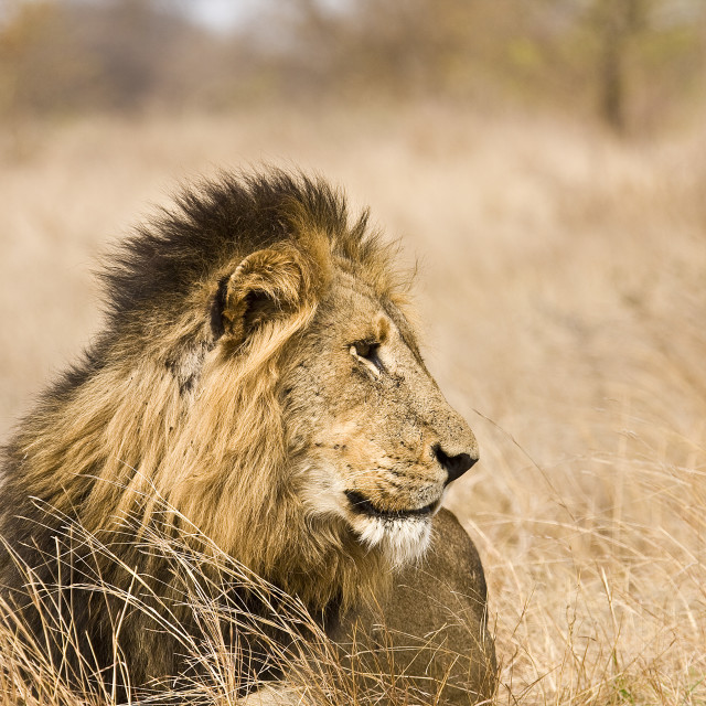 """""""wild male lion in savannah, Kruger, South Africa"""" stock image"""