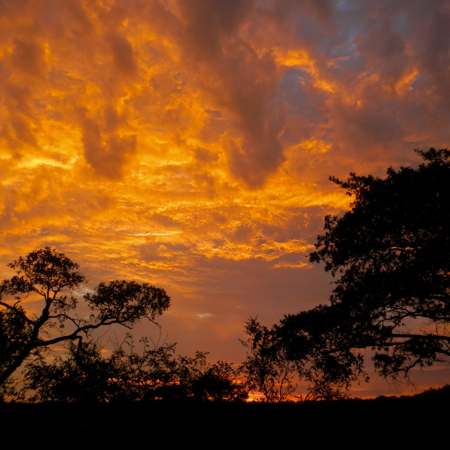 """sky of fire and acacia tree at Kruger park, South Africa"" stock image"