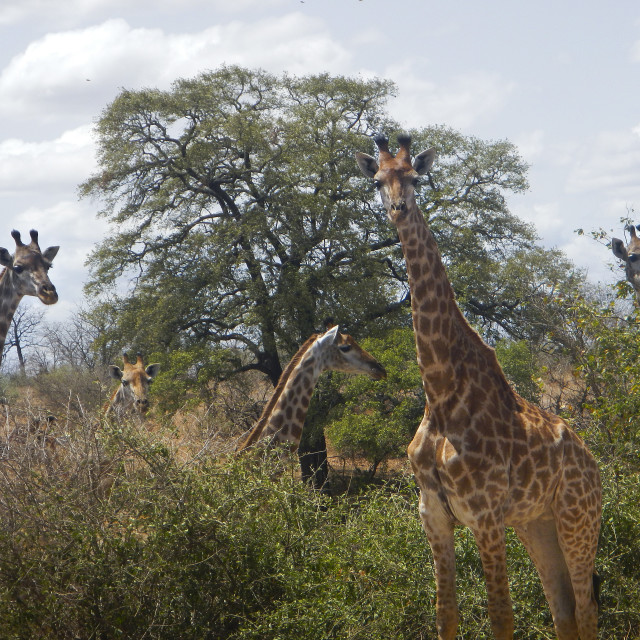 """group of giraffes in the bush, Kruger, South Africa"" stock image"