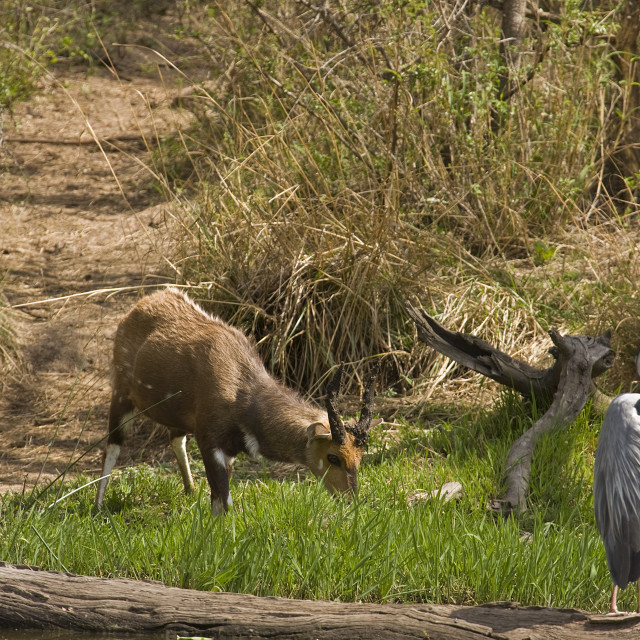 """gray heron and waterbuck in the riverbank, Kruger, South Africa"" stock image"