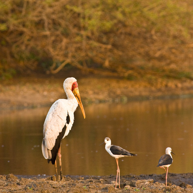 """yellow billed stork on sunset on the riverbank, Kruger, South Africa"" stock image"