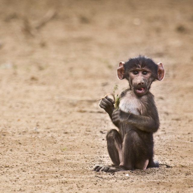 """baby baboon looking at us, Kruger park, South Africa"" stock image"