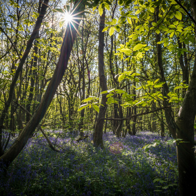 """Bluebells in King's Wood, Kent"" stock image"