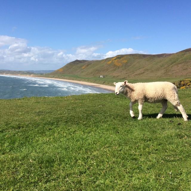"""Lamb at Rhossili"" stock image"