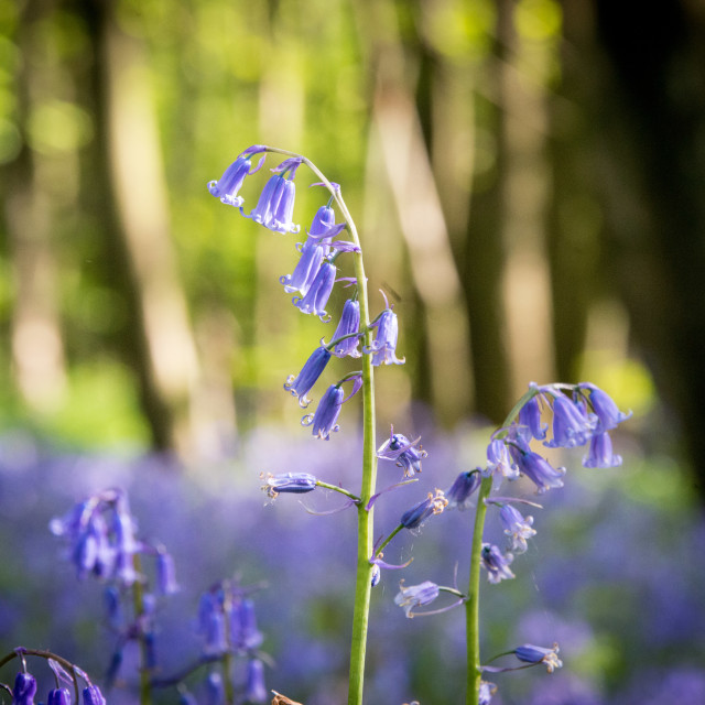 """Bluebells at King's Wood, Kent"" stock image"