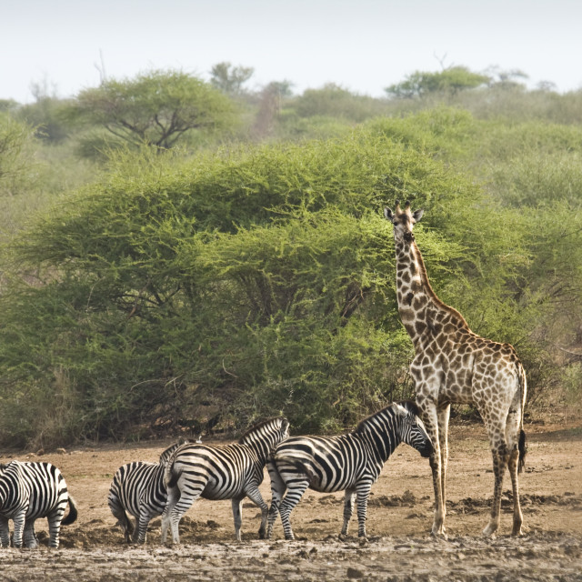 """herd of wild zebras and a giraffe, Kruger, South Africa"" stock image"
