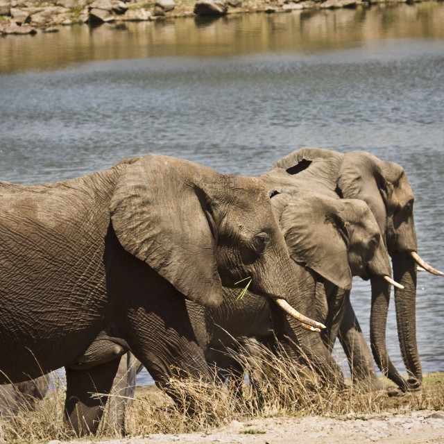 """family of wild african elephants in the riverbank, South Africa"" stock image"