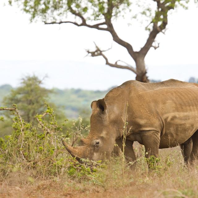 """wild white rhinoceros in savannah, Kruger park, South Africa"" stock image"