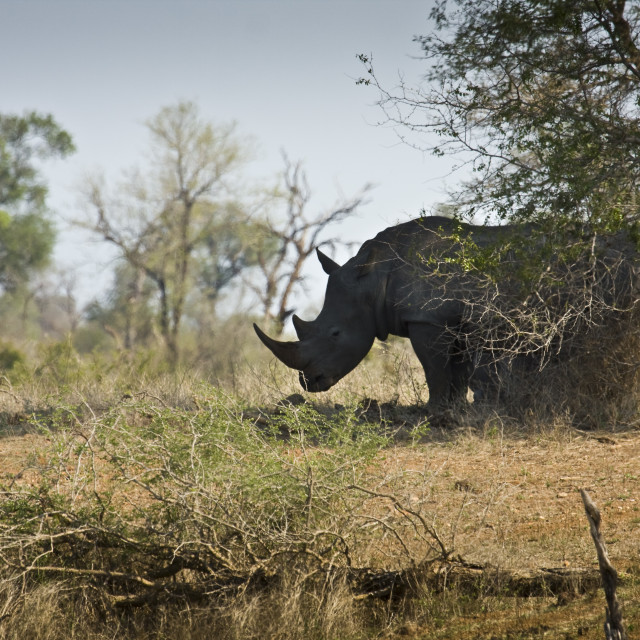 """""""white wild rhinoceros standing near a tree, Kruger, South Africa"""" stock image"""