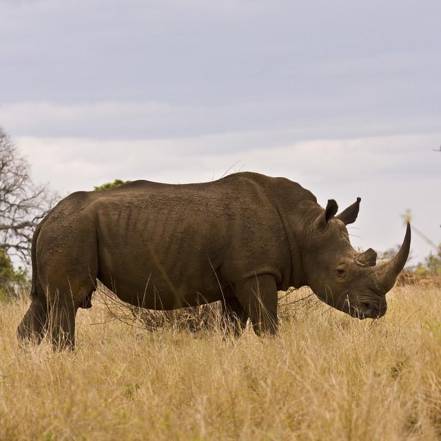 """african white wild rhinoceros in savannah, Kruger, South Africa"" stock image"