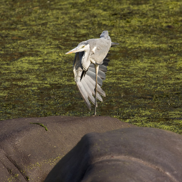 """gray heron standing on one paw, on the back of an hippo"" stock image"