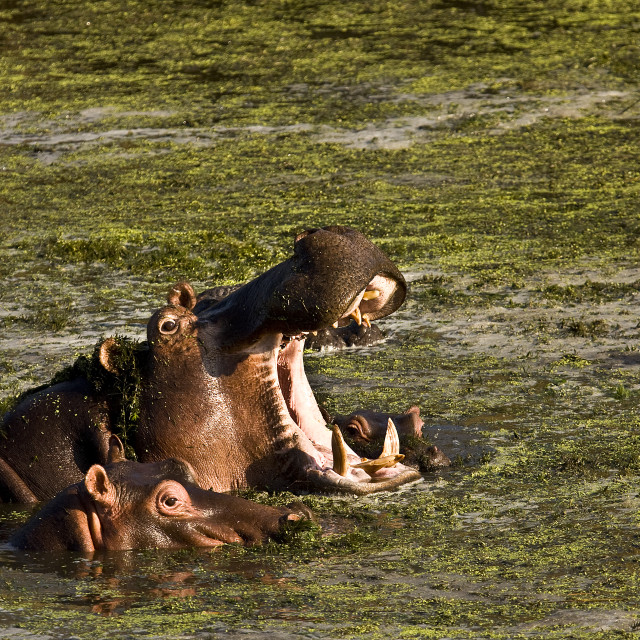 """african hippo yawning in the river, Kruger, South Africa"" stock image"