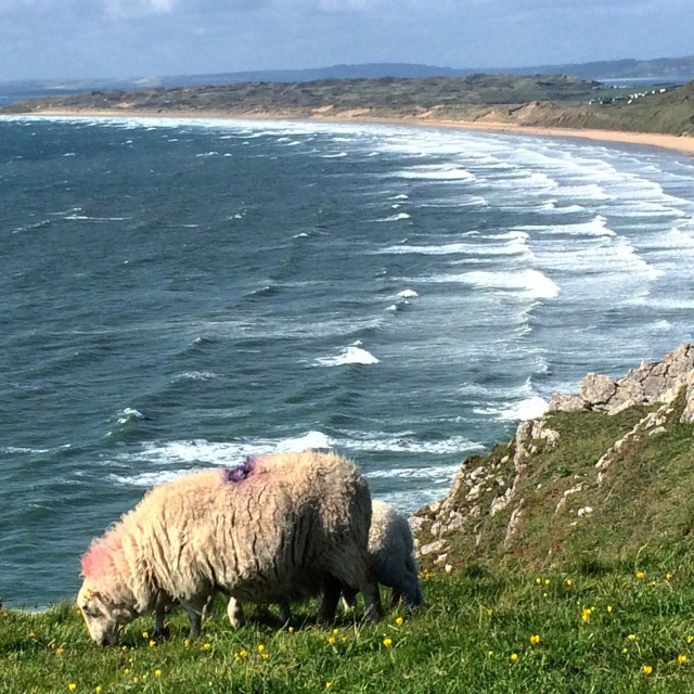 """Sheep grazing above Rhossili Bay"" stock image"
