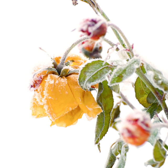 """winter rose"" stock image"