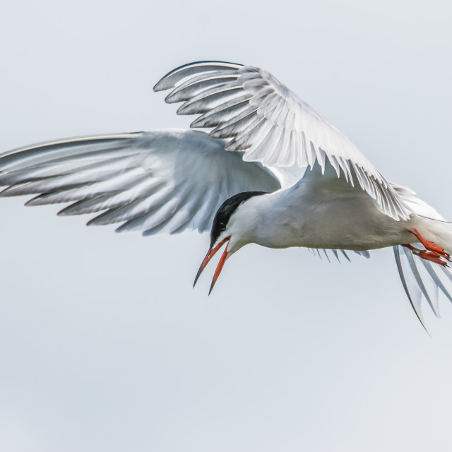 """Common tern in flight"" stock image"