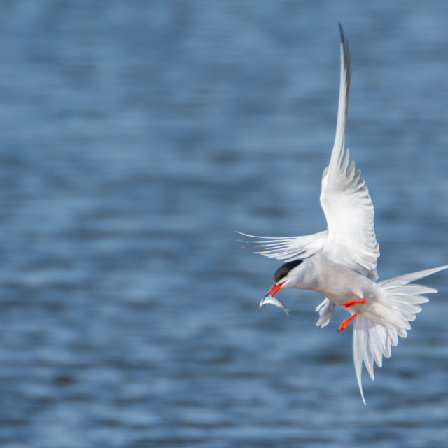 """Common Tern with fish"" stock image"