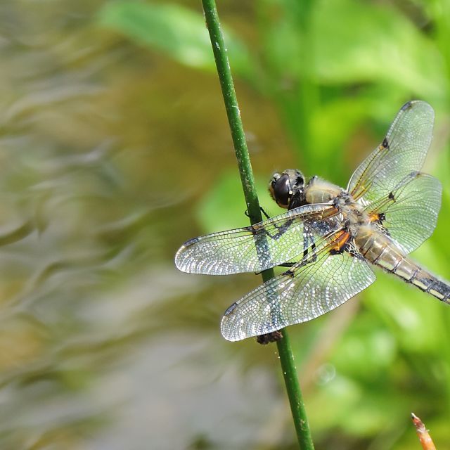 """Four Spotted Chaser (Libellula Quadrimaculata)"" stock image"