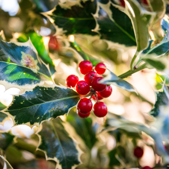 """Holly at Christmas"" stock image"