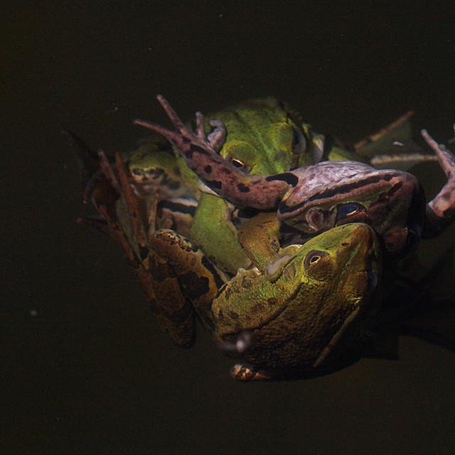 """""""Frogs gang bang"""" stock image"""