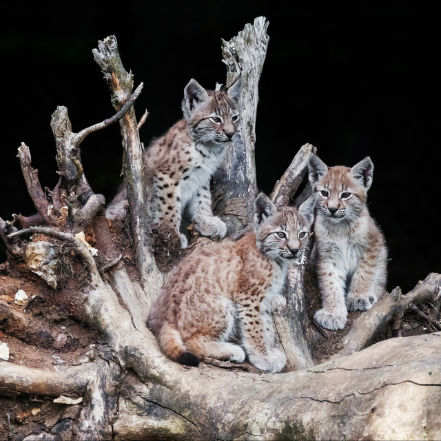"""""""Lynx cubs on a fallen tree trunk"""" stock image"""