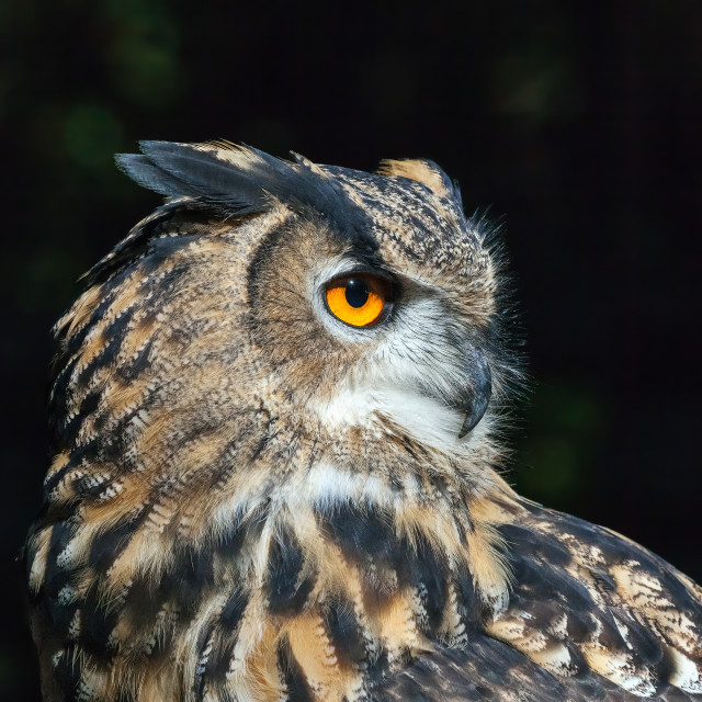 """Eagle Owl close-up"" stock image"