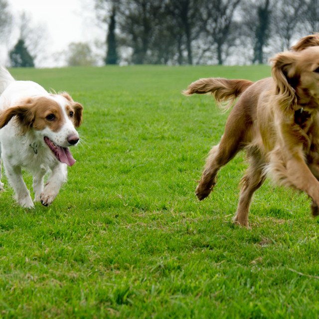 """Dogs at play"" stock image"