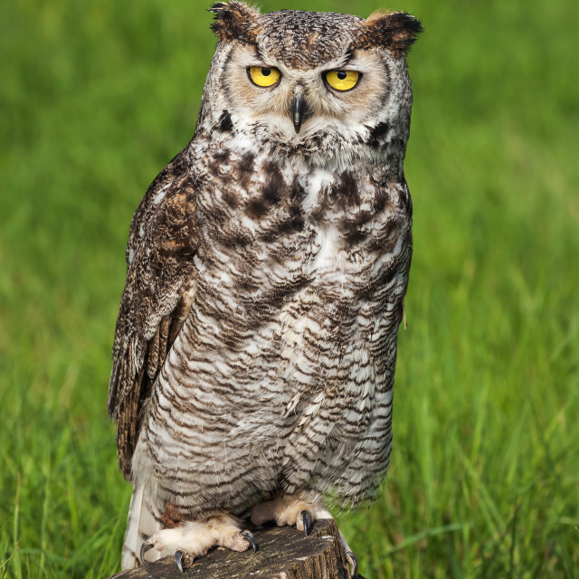 """Great Horned Owl perched on a tree stump"" stock image"