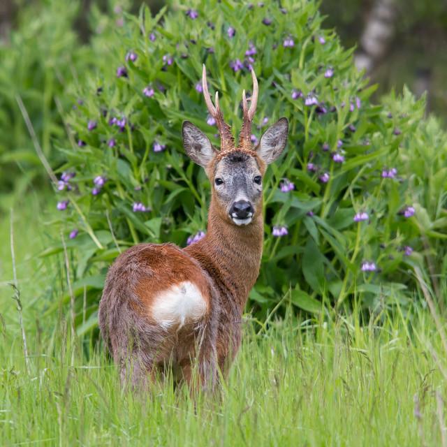 """Roe deer buck"" stock image"