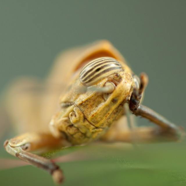 """Grasshopper Thinking"" stock image"
