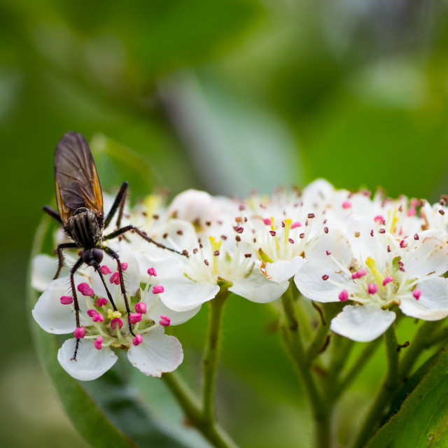 """Insect collecting pollen"" stock image"