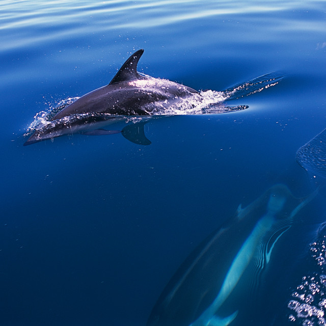 """Daulphins in the patagonia sea. Península Valdés. Argentina."" stock image"