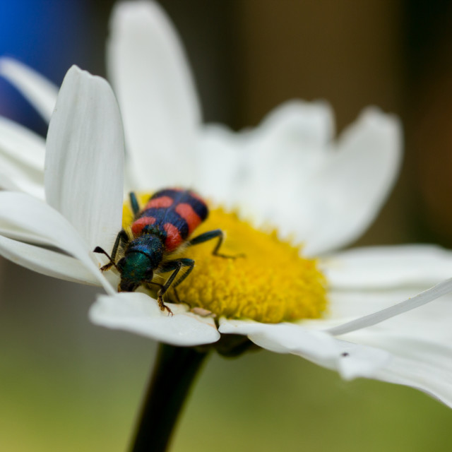 """Bug on the daisy"" stock image"
