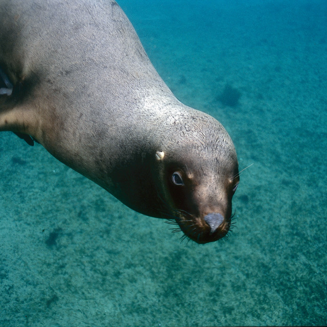 """Patagonian Sea lion."" stock image"