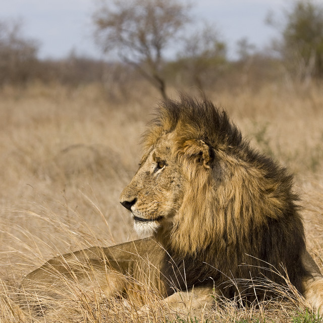 """""""portrait of a male lion lying down in savannah, Kruger, South Africa"""" stock image"""