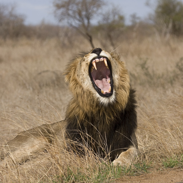 """""""portrait of a male lion lying down in savannah and yawning,, Kruger, South Africa"""" stock image"""