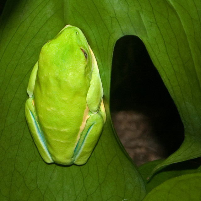 """Tree Frog on Leaf"" stock image"