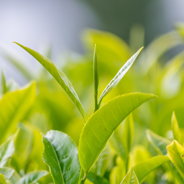 """Tea Leaves"" stock image"