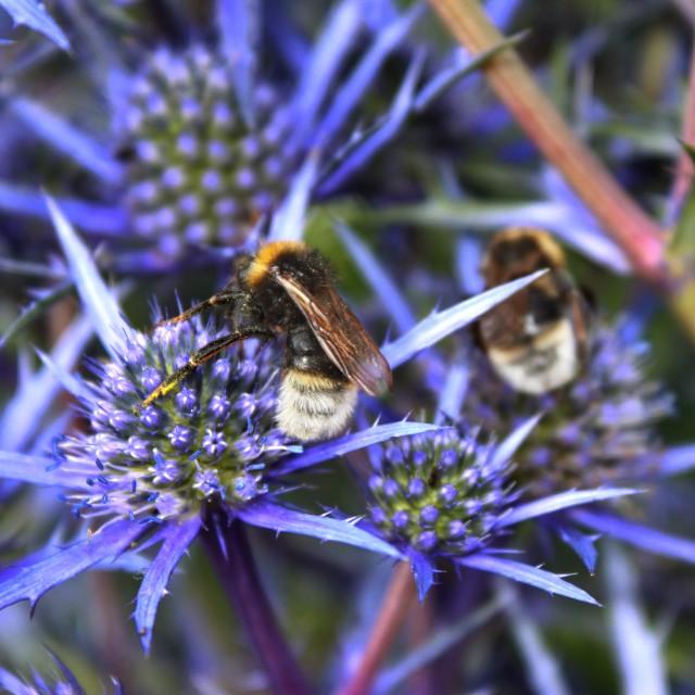 """""""Bee on vibrant purple flowers"""" stock image"""