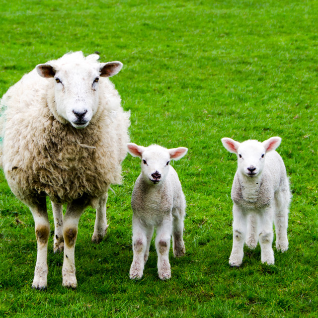 """Ewe with two lambs"" stock image"