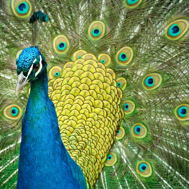 """A peacock strutting its stuff."" stock image"