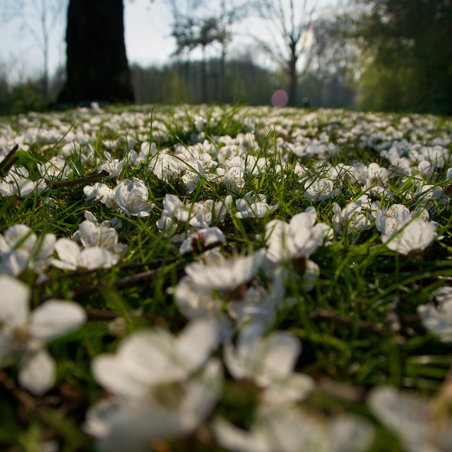 """Springtime blossom on the ground"" stock image"
