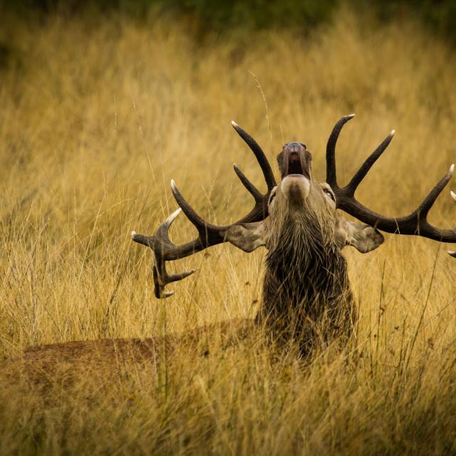 """""""Deer Rut"""" stock image"""